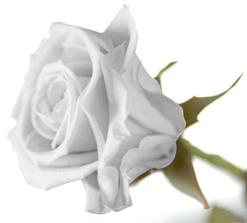 gelbe rose symbol der freundschaft ideal zum geburtstag ebay. Black Bedroom Furniture Sets. Home Design Ideas